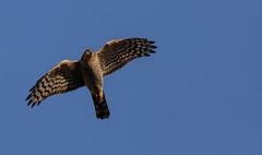 Gracefull Hunter (Jacko 999) Tags: sparrowhawk canon eos 7d mark ii ef100400mm f4556l is usm ƒ56 4000 mm 12000 320 wild wildlife bird prey hawk stodmarsh feather feathers feathered
