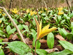 Yellow Trout Lilies (U.S. Fish and Wildlife Service - Midwest Region) Tags: wildflower wildflowers woods forest trees flower flowers bloom blooms blooming april 2017 neosho nfh hatchery nationalfishhatchery missouri mo spring native plant plants