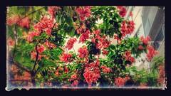 outono que dá flor (luyunes) Tags: flor flores árvore corderosa motoz luciayunes