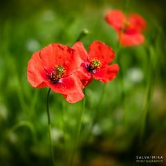 [ #102 :: 2017 ] (Salva Mira) Tags: roselles amapolas poppies primavera spring roig rojo red verd verde green lanucia marinabaixa lamarina paísvalencià salvamira salva salvadormira