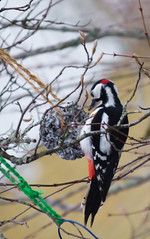 Woodpecker (Shantasphotos) Tags: woodpecker bird trees food wildness wild animal nature