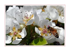 Di fiore in fiore - From flower to flower (Jambo Jambo) Tags: macro fiori flowers primavera spring nikond5000 jambojambo grosseto maremma maremmatoscana maremmacountryside toscana tuscany italia italy ape bee