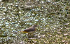 River Wildlife - Grey Wagtail (Adam Swaine) Tags: birds bird englishbirds britishbirds wildlife riverbank rivers river riverdarent wagtail england englishrivers swaine britain british naturelovers nature