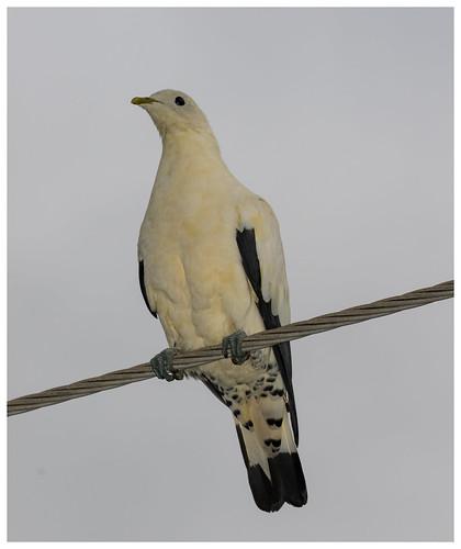 """Pied (Torresian) Imperial Pigeon (aka Torres Strait Pigeon or """"Torrie"""") (Ducula bicolor)"""