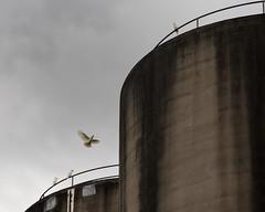 Beer Dragons (Keith Midson) Tags: cockatoo bird flying cascade cascades silo beer flight tasmania hobart sky