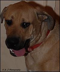 """ Ah James..Look this way please !! "" (KLF & JRN) Tags: kjphotography smileofadog dogtongue dognose germanshepherd greatdane nikoncamera nikondslr nikon brantford pet dog animal"