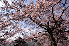 Sakura(Ibaraki Prefecture Gokoku Shrine) (kazuo0801) Tags: sakura shrine tree