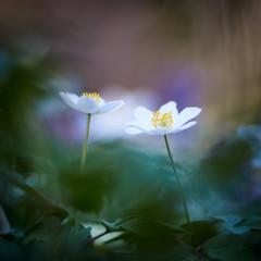 You And I (matt.kueh) Tags: flower plant spring frühling blume windflower thimbleweed smellfox anemonenemorosa buschwindröschen bokeh bokehlicious vintagelens manualfocus m42 depthoffield helios40285mmf15