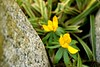 Laughing Flowers (Coral Norman) Tags: laughing funny jesterscollar jester betweentherocks spring flowers yellow aconite winter