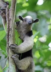Looking Sleepy (Vicky Bella) Tags: 7dwf costarica cararanationalpark anteater northerntamandua collaredanteater greatanteater fauna