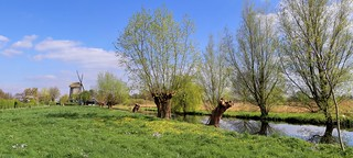 A typical Dutch landscape with knotted willows