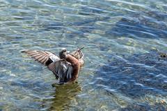 American Widgeons (Warp Factor) Tags: canont4i americanwidgeon spring2017 stanleypark tamron150600mm birds mating nests duckscanont4iheronnestingpacificgreatblueheronsspring2017stanleyparktamron150600mmbirdsmatingnestsrookery