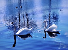 Watching the Royal Pair floating by (pianocats16, miau...) Tags: swan swans pair couple lake ducks blue water sun
