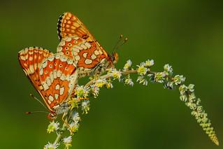 Euphydryas aurinia mating