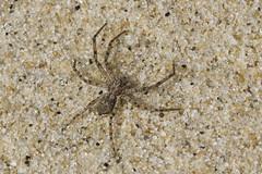 Beach Wolf Spider (brucetopher) Tags: wolf spider wolfspider spiders arachnid bug bugs creepycrawly bugsandspiders beach camouflage blendingin mottled spotted leg legs longlegs 8legs 8 eight sand macro spring creature habitat
