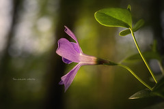 Al tramonto (Soloross) Tags: macro flower sunset forest nature colors bokeh texture italy parcodelticino soloross fuji beauty