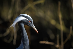 Elegant headdress (Rico the noob) Tags: dof bokeh nature d500 switzerland outdoor animal zurich published 2017 schweiz crane bird closeup birds eye 200500mm 200500mmf56 animals