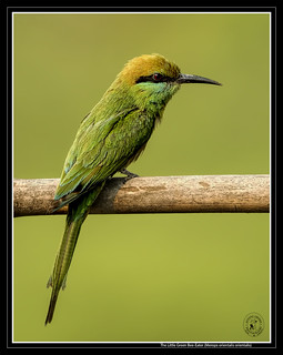 The Little Green Bee Eater