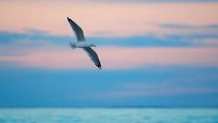 Pastels (imageClear) Tags: soar fly bif gull seagull pastel clouds sky beauty color bird lovely wings wingspread lake aperture nikon d500 80400mm imageclear flickr photostream