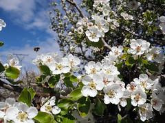 ¡¡¡Primavera!!! (Alfre_MM) Tags: almendro árbol primavera