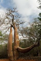 DSC07474_DxO Seitenast wie ein Rhinozeroskopf_Bildgröße ändern (Jan Dunzweiler) Tags: madagaskar africanbikers reniale renialareserve jandunzweiler baobab affenbrotbaum