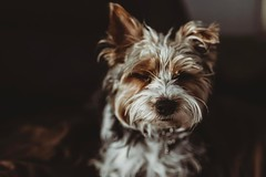 Close yours eyes and take a moment to take it all in. (Orange Moon Photography) Tags: pets yorkie