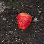 pentax_55-300mm_plm_abandoned_strawberry_1492071124