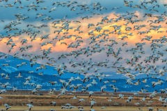 (Marc Crumpler (Ilikethenight)) Tags: landscape wildlife california klamathnationalwildliferefuge lowerklamathnationalwildliferefuge klamathfalls sunset mountains birds geese snowgeese flying canon canon7dmarkii 7dmarkii tamron150600mmf563
