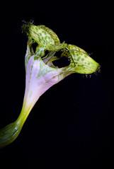 African parachute plant (Olof Virdhall) Tags: flower coloursonblack studio africanparachuteplant plant canon eos5 mkiii olofvirdhall