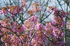 🌸 (Christian Passi - Steher82) Tags: vsco flickr kirschbaumblüten cherry blossom pflanze blüte outdoor baum kirschblüte blume flower germany tree tress spring frühling springs springtime love sun 桜 sony selp18105g a6000 ast natur