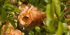 Cognassier du Japon (fred'eau) Tags: plante fleurs chaenomeles japonica cognassier jardin parc 105mm gh1 panasonic lumix flower