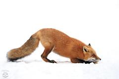 Downward Dog (Megan Lorenz) Tags: redfox fox animal mammal snow winter nature wild wildlife wildanimals algonquinprovincialpark ontario canada mlorenz meganlorenz