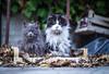 Angry cats (Angelo Petrozza) Tags: angry cats cat gatti arrabbiati foglie falls micio angelopetrozza pentaxk70 revuenon55mmf12 f12 animali animals felini felix