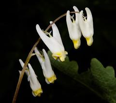 Dutchman's_breeches_00028-4 (McConnell Springs) Tags: mcconnellspringspark mcconnellsprings flowers dutchmansbreeches lexingtonparksrecreation lexingtonky l whiteflowers
