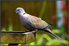 Streptopelia decaocto (* RICHARD M (Over 6 million views)) Tags: streptopeliadecaocto eurasiancollareddove collareddove doves streptopelia columbidae birds ornithology wildlife nature featheredfriends southport sefton merseyside spring springtime march
