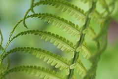Fern (dr.larsbergmann) Tags: fern ferns nature outdoor explored