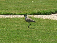 Spur-winged Plover (Vanellus spinosus) Luxor Egypt 13Aug07 a (kerrydavidtaylor) Tags: bythenile lapwing