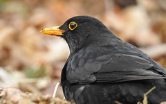 Common blackbird (m2onen) Tags: commonblackbird blackbird eurasian turdusmerula true trush bird birds closeup nikon p900 superzoom