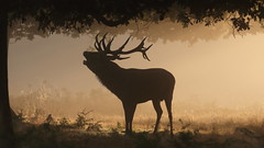 Morning call (Hammerchewer) Tags: reddeer stag animal wildlife outdoor