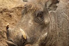 wrattenzwijn (ToJoLa) Tags: canon canoneos60d 2017 safaripark beeksebergen voorjaar spring lente animals dieren dierentuin noordbrabant zoo