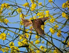 Field Sparrow in Flight (Zeetz Jones) Tags: superbloom wildflowers nature ranchopalosverdes portuguesebendreserve superbloom2017 rollinghills southerncalifornia