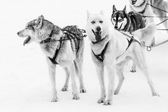 Nordic pack (Saana Londono Photographie) Tags: animals animaux animal amazing wild wildlife photography photographie magnifique magic mammal moment magnificient mammifère c canon colors couleurs cute close camera dog husky musher snow work eos expo eye exposition eyes explore beautiful black beauty big white water objectif ocean nature noir ngc sauvage superb simply nordic