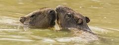 Capybara enjoying the water-5 (tiger3663) Tags: capybara water enjoying yorkshire wildlife park