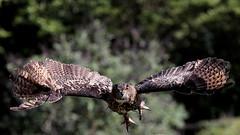 Gufo Reale (carlo612001) Tags: eagleowl owl gufo guforeale falconeria falconry oasisantalessio wildlife nature natura uccelli uccello bird birds
