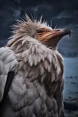 Schmutzgeier (A.B. Art) Tags: tier animal vogel bird geier vulture abart starburst911 postprocessed nachbearbeitet tonemapped neophronpercnopterus natur photoshopped
