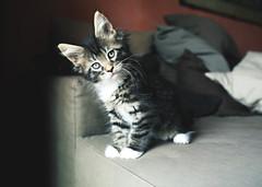 Micio (andrealamedica) Tags: cat gatto micio miao sweet tenero gattino baby babycat maniecoon