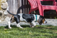 IMG_8272 (BFDfoster_dad) Tags: basset hound puppy