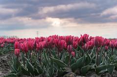 Pink tulips (2AnNa3) Tags: colour kleur bloemen bloeien lente spring tulpen tulips roze pink