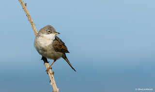 Papa-amoras | Common Whitethroat | Curruca zarcera | Fauvette grisette (Sylvia communis)