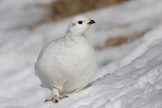BJ8A9599-White-tailed Ptarmigan